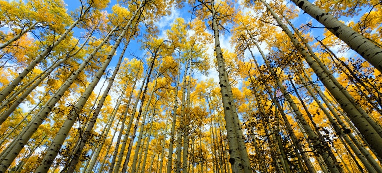 Picture of Aspen trees during the Fall in Colorado.